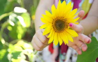 The hands of a young girl child are holding a sunflower flower, picking the petals off in the summer.